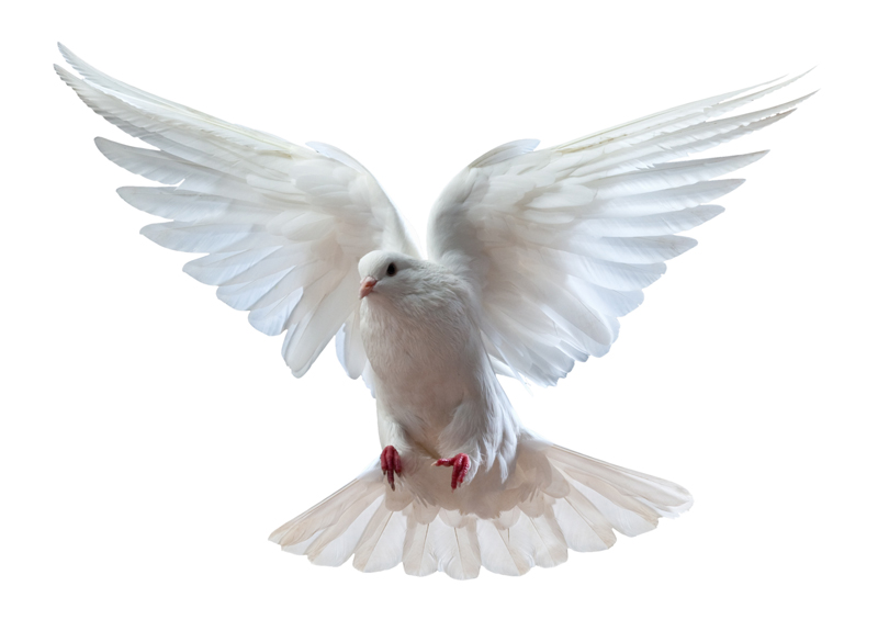 dove white background